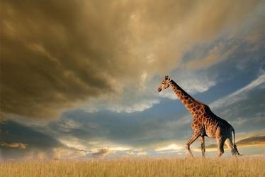 Fotoattēls Signal Meble Giraffe Glass Painting 120x80cm